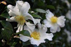 Camellia_Setsugekka Camellia, Shrubs, Nursery, Gardening, Plants, Baby Room, Lawn And Garden, Shrub, Child Room