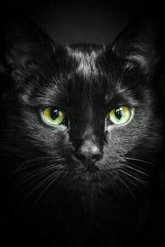 An Cat Dub (The Black Cat), chat noir Tap the link Now - Luxury Cat Gear - Up to off and Free Worldwide Shipping! Check out our Cat & Kids Clothing - Stand Out in a Crowded World! Pretty Cats, Beautiful Cats, Animals Beautiful, Cute Animals, Pretty Kitty, Gorgeous Eyes, Animals Images, Crazy Cat Lady, Crazy Cats