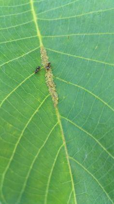 Mšice Aphidoidea Zahrada