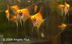 Sunset Blushing Angelfish from Angels Plus