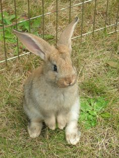 Baby Flemish Giant Rabbit  *dansuehath