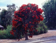 Corymbia ficifolia (red-flowering gum) cultivated in Kersbrook, South Australia. Cultivated specimens can be highly ornamental.