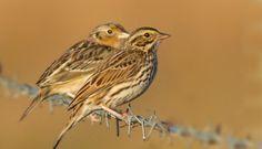 Grasshopper sparrows.