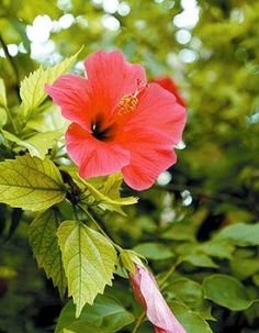 Saving yellowing hibiscus-- 1 cup of vinegar/1 gallon water... Epsom Salt/ Palm tree fertilizer