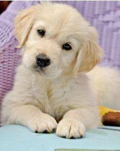 Cool Golden Retriever Chubby Adorable Dog - 9000130d977e965d3cc2ff5ce00e228d  HD_249943  .jpg