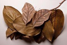 most beautiful Dead Leaf Butterfly