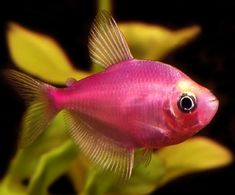 2438 Best Tropical Fish Images Fish Tanks Freshwater Aquarium