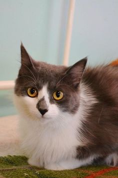 Meet Oreo the Cat, a Petfinder adoptable Domestic Medium Hair - gray and white Cat | North Vernon, IN | Oreo came to us when a friend of rescue noticed she was pregnant and having difficulty giving...