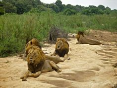 Dreadlocks, Rasta, Makhulu and Mr. T ( Mapogos) lying in the Sand River
