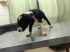 07/17/15-HOUSTON - PUPPY ALERT!! This DOG - ID#A438243 I am a female, black and white Labrador Retriever mix. The shelter staff think I am about 13 weeks old. I have been at the shelter since Jul 15, 2015. This information was refreshed 1 minutes ago and may not represent all of the animals at the Harris County Public Health and Environmental Services.