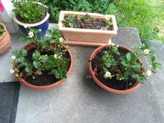 Two pots of strawberries I planted and gave to my mother. Runner strawberries, happy summer to come.