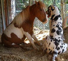 Best friends - big dog, little horse!