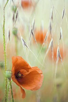 Red Poppy Spring Flower Photograph by Dirk Ercken