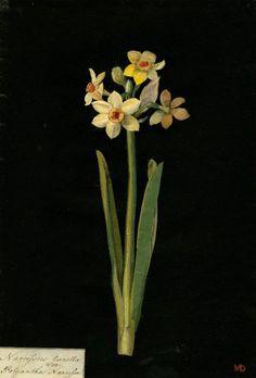 Mary Delany, Narcissus Tazetta, Polyanthus Narcissus collage, 1776 (via).
