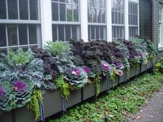 Fall flower box- kale, ornamental cabbage, creeping jenny