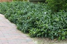 Laakerikirsikka 'Mano' Mount Vernon, Prunus, Shade Plants, Kraut, Garden, Patio, Evergreen Hedge, Landscape Nursery, Ground Cover Plants