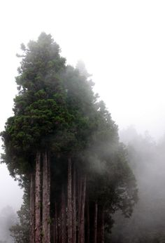 Majestic trees in the mist