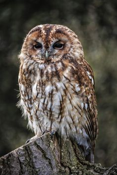Simple Pleasures — wowtastic-nature:  Tawny Owl on 500px by InShot...