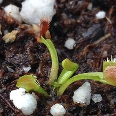 Venus flytrap seedling #seedling #carnivorousplants #carnivorousplant #carnivoroustagram #venusflytrap #dionaea by crazycarnivorplant