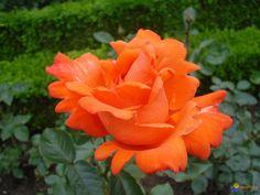 rose-orange-visoflora-14541.jpg (1024×768)