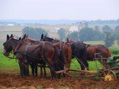 Team of mules