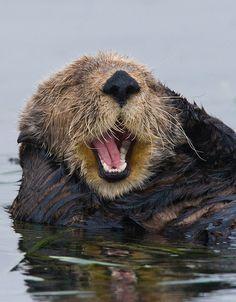 California Sea Otter happy dude