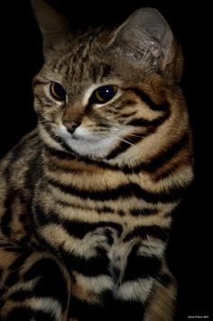 The Black-Footed Cat, also called Small-Spotted Cat, is the smallest African Cat, and is endemic in the Southwest arid zone of the Southern African sub region. It is one of the lesser-studied African Carnivores, and is listed as vulnerable. I Love Cats, Big Cats, Cats And Kittens, Cute Cats, Beautiful Cats, Animals Beautiful, Cute Animals, Rusty Spotted Cat, Black Footed Cat