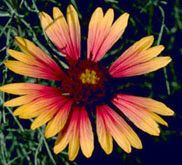 State Wildflower--Indian Blanket The Indian Blanket, or Blanket Flower, is a daisy-shaped flower with red petals tipped with yellow. Blooming Flowers, Wild Flowers, Mom Tattoos, Tattos, Tulsa Time, Indian Blankets, Barn Quilts, Oklahoma, Retirement Celebration