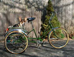 Schwinn Town and Country  Tricycle with tricolored corgi