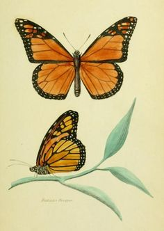 Biomedical Ephemera, or: A Frog for Your Boils — Danaus Plexippus - The Monarch Butterfly Note the...