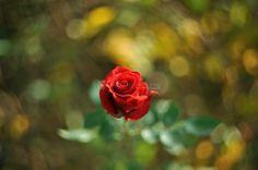 #老镜头# Helios-44-2,58mm/F2 - 花卉 - 图片库 - 南门瘦马 - 红网红图汇-红网图片频道