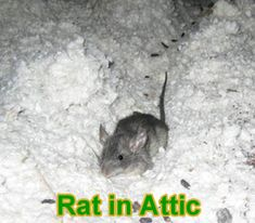 how to get mice out of attic