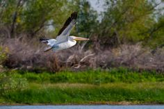 White Pelican   Flickr - Photo Sharing!