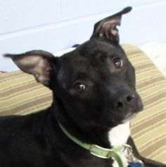 1 / 26    Petango.com – Meet Dena, a 3 years 6 months Terrier, Pit Bull / Terrier, American Staffordshire available for adoption in TWINSBURG, OH Contact Information Address  7996 Darrow Road, TWINSBURG, OH, 44087  Phone  (330) 487-0333  Website  http://www.summithumane.org  Email  info@summithumane.org