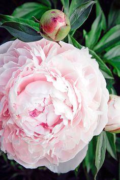 Kiinanpioni Perennials, Yard, Rose, Green, Flowers, Plants, Inspiration, Biblical Inspiration, Patio