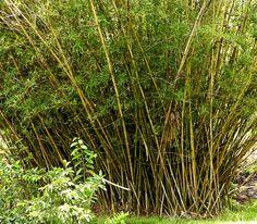 le Bambusa vulgaris se trouve partout en Guyane