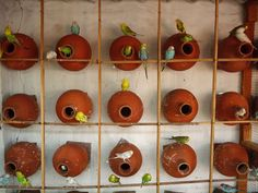 budgie breeders | ... budgies in colony system it is easier to breed budgies in colonies