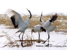 Red-crowned Crane Photos