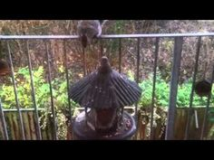Squirrels Fighting Barrie Crampton's You Tube Channel http://www.youtube.com/user/barriecrampton