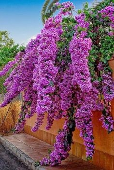 Bugambilias Bugambilia is the Spanish common name for the evergreen or nearly evergreen, shrubby climbing vine bougainvillea (Bougainvillea spp.) ~But this doesn't look like any Bougainvillea I have ever seen! Purple Flowers, Beautiful Flowers, Beautiful Gorgeous, Cascading Flowers, Purple Plants, Flowers Nature, Exotic Flowers, Wedding Flowers, My Secret Garden