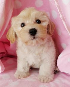 havanese! This is what my dog looked like when she was a puppy.