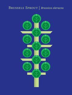 Brussels Sprout – Brassica oleracea.