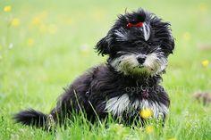 bichon havanais puppy.