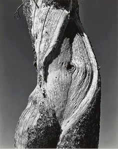 Pine, Yosemite National Park. Photograph by Edward Weston, 1937. www.culturainquieta.com