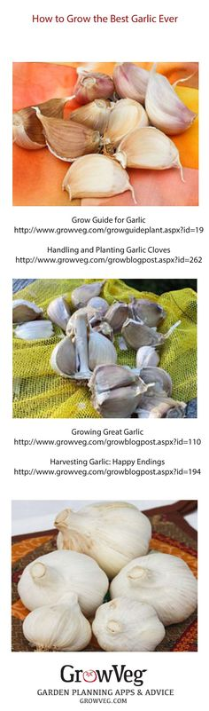 How to grow the best garlic ever from planting to harvesting and curing, these links take you through each stage smoothly.