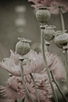 Pale Poppies and Pods