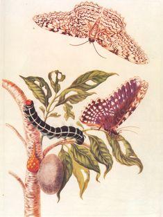 happy birthday to; Maria Sibylla Merian naturalist/illustrator 'Metamorphosis of a Butterfly' Illustration Botanique, Butterfly Illustration, Botanical Illustration, Natural World, Natural History, Sibylla Merian, Detailed Paintings, Geniale Tattoos, Flower Embroidery Designs