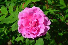 Theresa-ruusu aamun auringossa