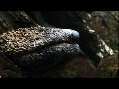 Giant salamanders can grow to 5 feet in length and weigh up to 80 lbs. They face a barrier of dams in Japan, built to control flooding. Now it's hoped a new system will help these giant amphibians get upstream past the dams to lay their eggs.