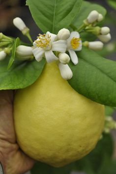 Ponderosa Lemon with Bloom! The Ponderosa lemon tree produces melon size lemons and the blooms are very fragrant! Can't wait to grow one of these babies!